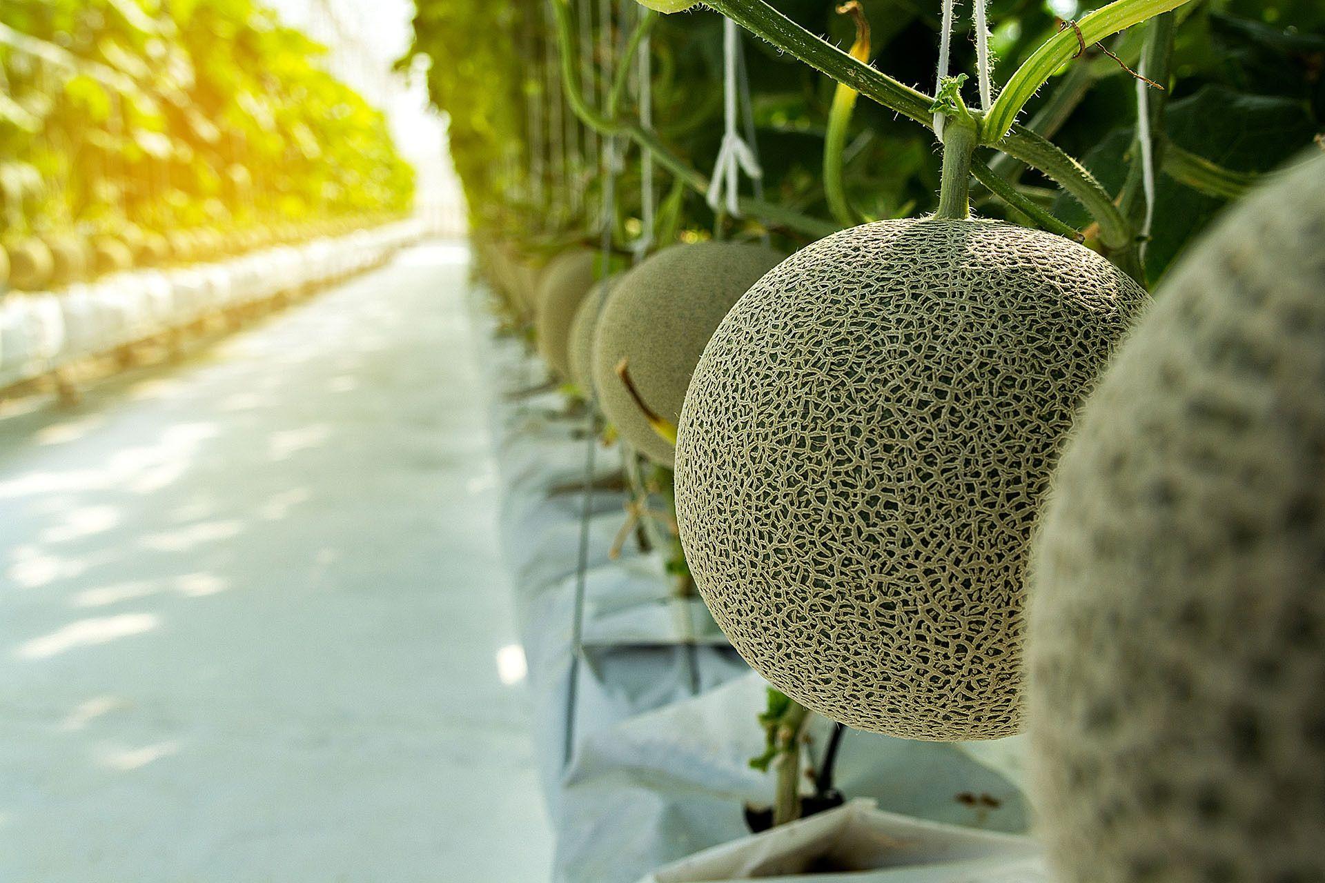 những quả dưa đắt đỏ ở Nhật Bản