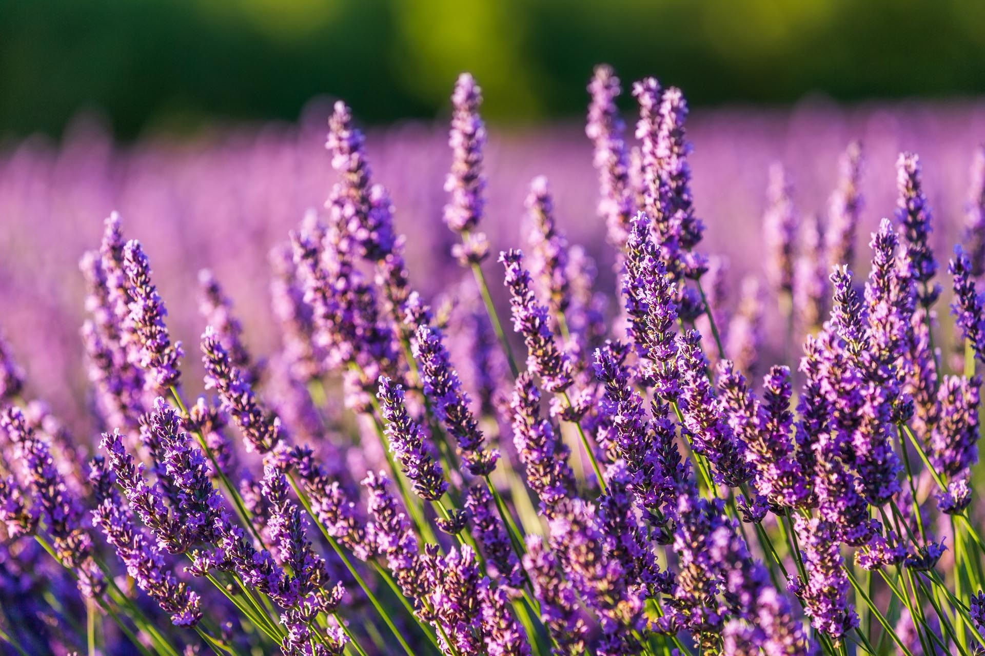 A Guide To Visiting The Provence Lavender Fields Rough Guides