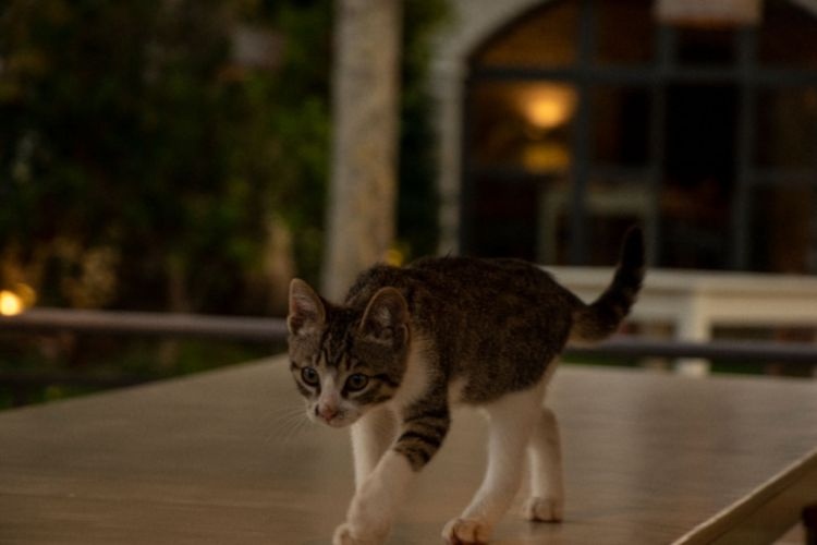 Greek kitten