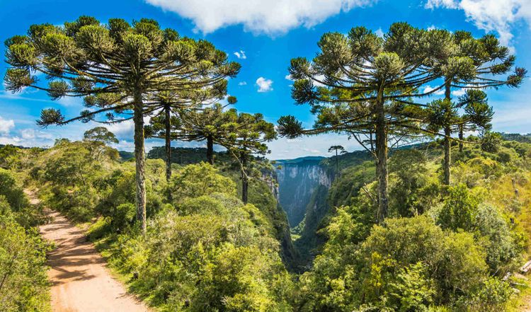 araucaria-trees-itaimbezinho-canyon-cambara-do-sul-rio-grande-do-sul-brazil-shutterstock_1348232165