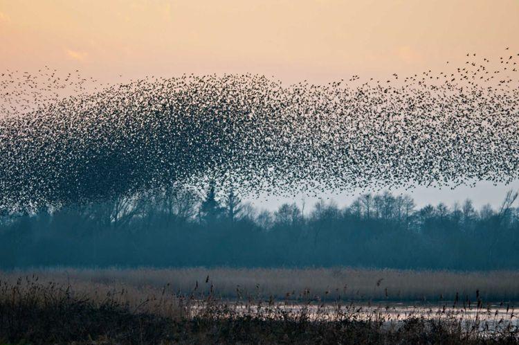Birds flocking over Shapwick Heath in Somerset, United Kingdom