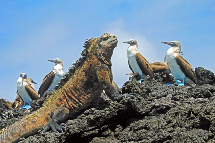Blue footed boobies with iguana, Galapagos