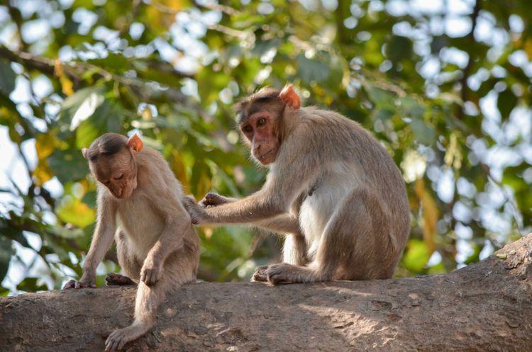 bonnet-macaque-monkey-sanjay-gandhi-national-park-mumbai-india-shutterstock_534983212
