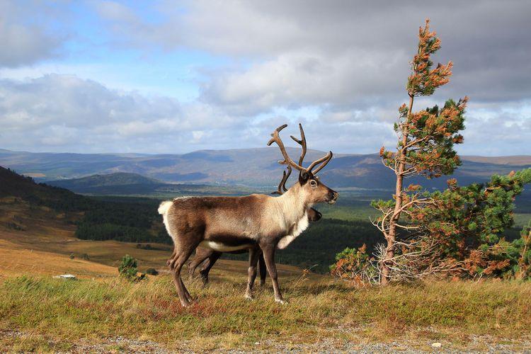 Cairngorm wild reindeer @ A D Harvey/Shutterstock