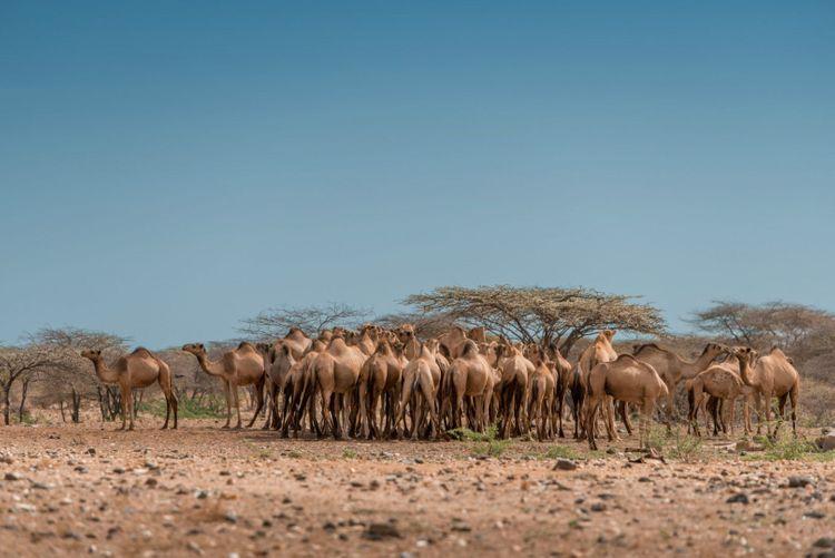camels-marsabit-kaisut-desert-kenya-shutterstock_1181713819