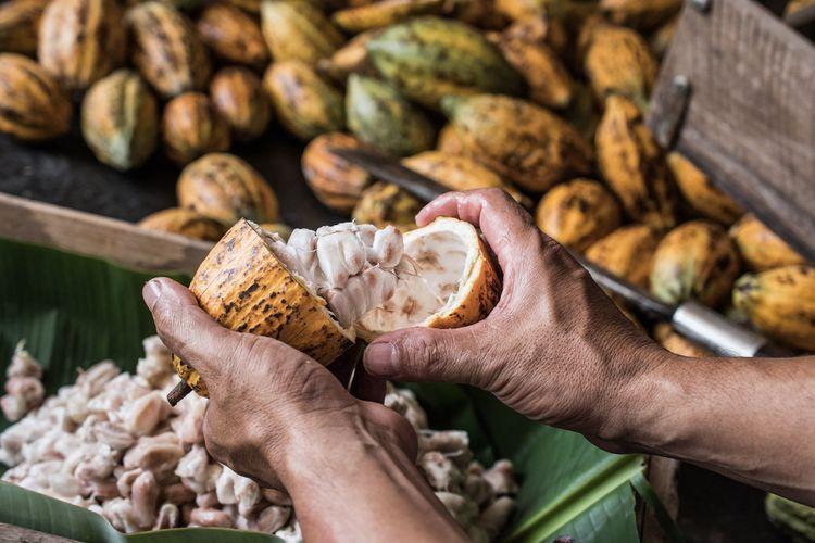 Cocoa beans fruits © Aedka Studio/Shutterstock