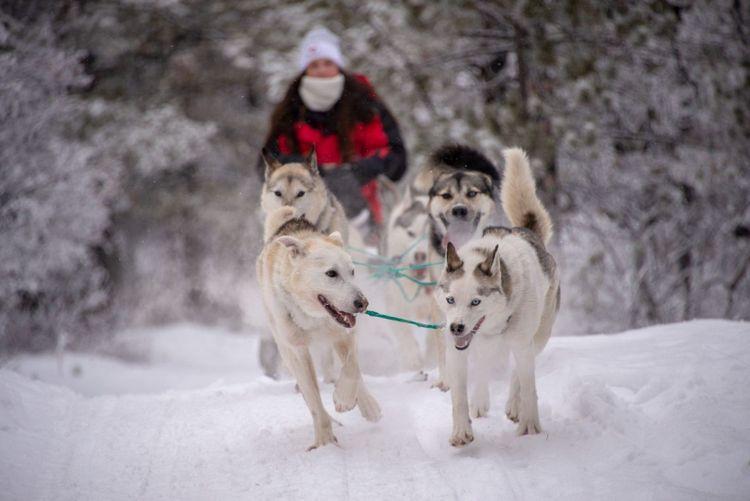 dogsledding-canada-yukon-shutterstock_1295046181