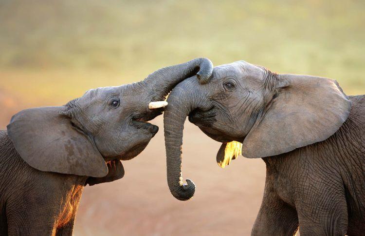 elephant-south-africa-shutterstock_111119381