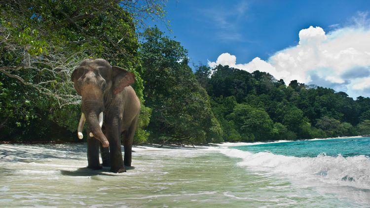 Elephant walking on the beach. Andaman Islands, India © TOWANDA1961/Shutterstock