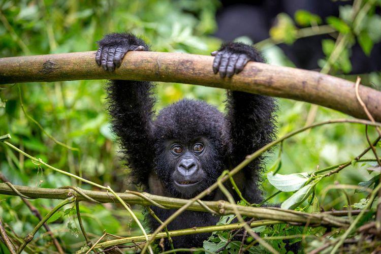 Baby gorila inside Virunga national park, Rwanda