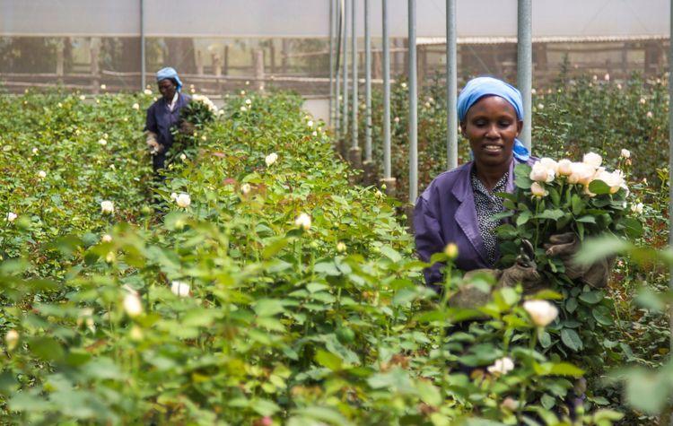 Nanyuki flower farm, Tambuzi