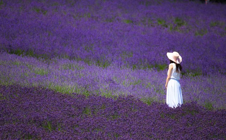 Lavender field, Hokkaido, Japan ©   Phubet Juntarungsee/Shutterstock