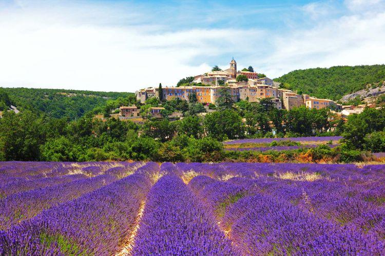 lavender-provence-shutterstock_83703190