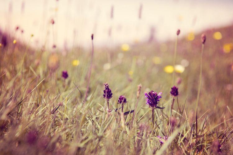 Spring flowers, Luskentyre, Isle of Harris, Scotland