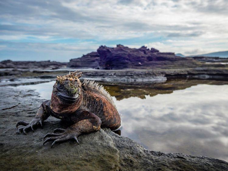 marine-iguana-fernandina-island-galapagos-islands-ecuador-shutterstock_1416526655