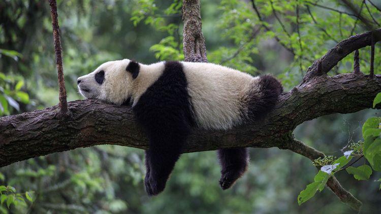 Giant panda sleeping on tre tree © clkraus/Shutterstock