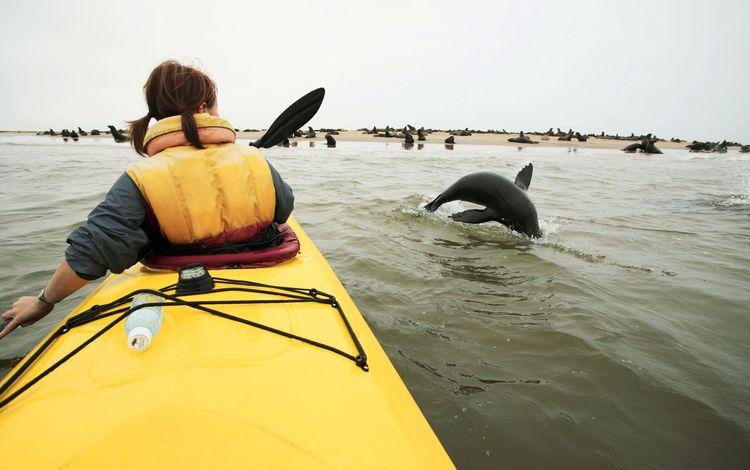 Seals jump by kayak, Walvis Bay, Skeleton Coast , Namibia , Southern Africa, Africa