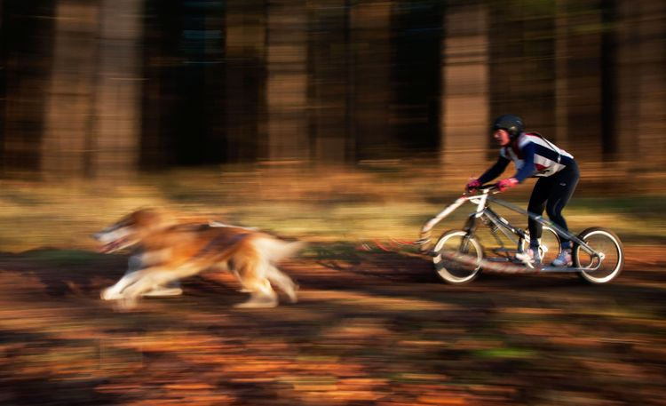 Siberian Husky dogs and rider taking part in the two day British Siberian Husky Rally (BSHRA) at Santon Downham, Norfolk