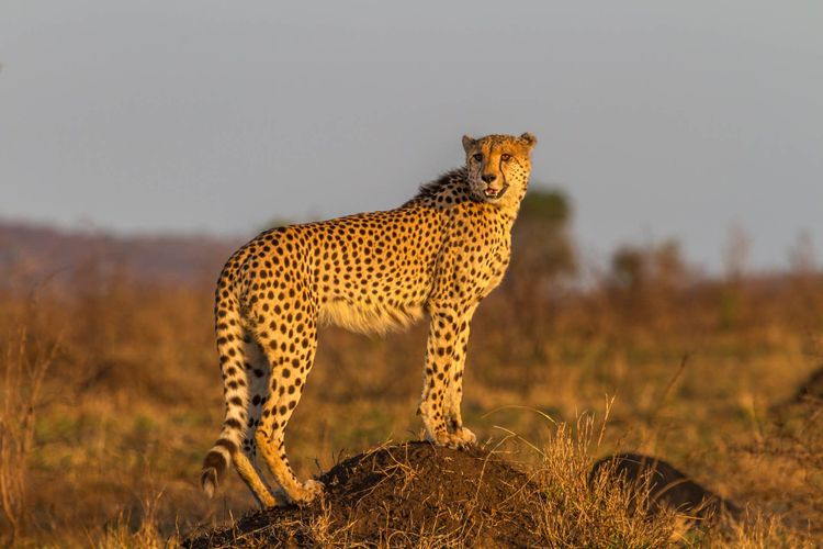 Cheetah Standing on Termite Mount at Kruger National Park, South Africa