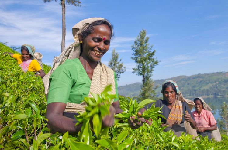 sri-lanka-tea-plantation-picker-shutterstock_220291930