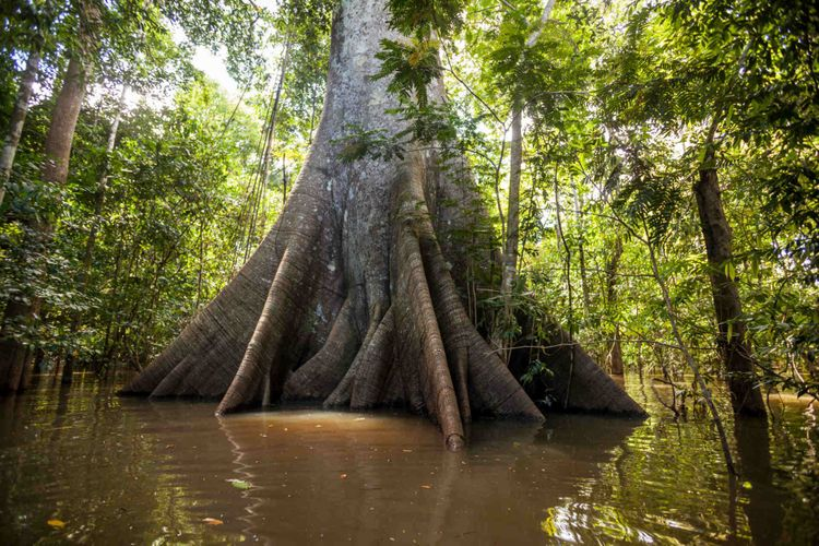 sumauma-tree-rainforest-amazon-shutterstock_1120526348