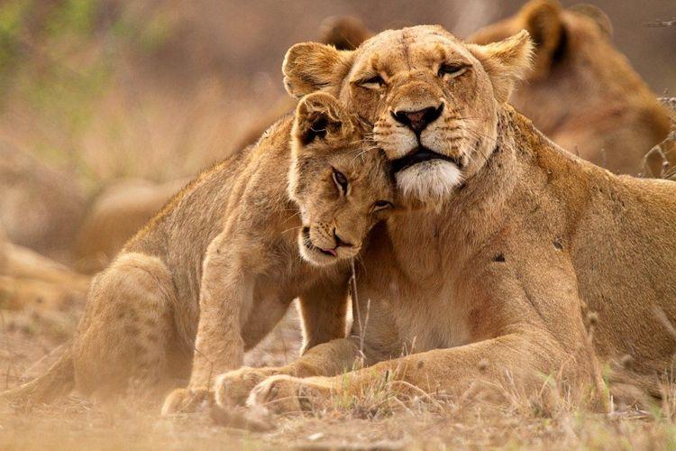 Lion Kruger South Africa