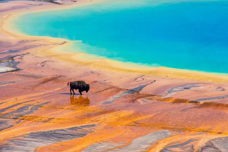 Bison crossing the Grand Prismatic Spring, Yellowstone National Park, USA